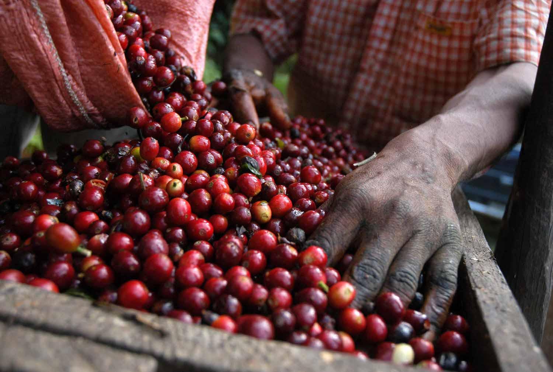 Coffee-Beans-Guatemala