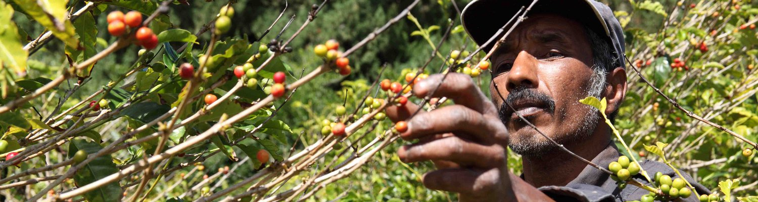 St.Helena-Farmer-Picking-ripe-coffee