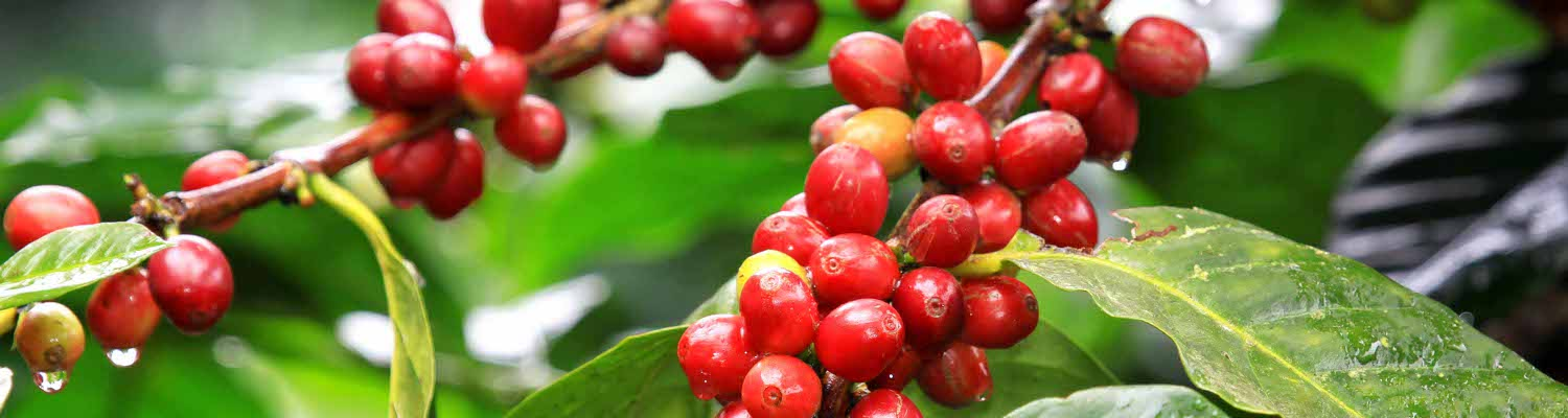 coffee_fruit_rippening_north_Thailand